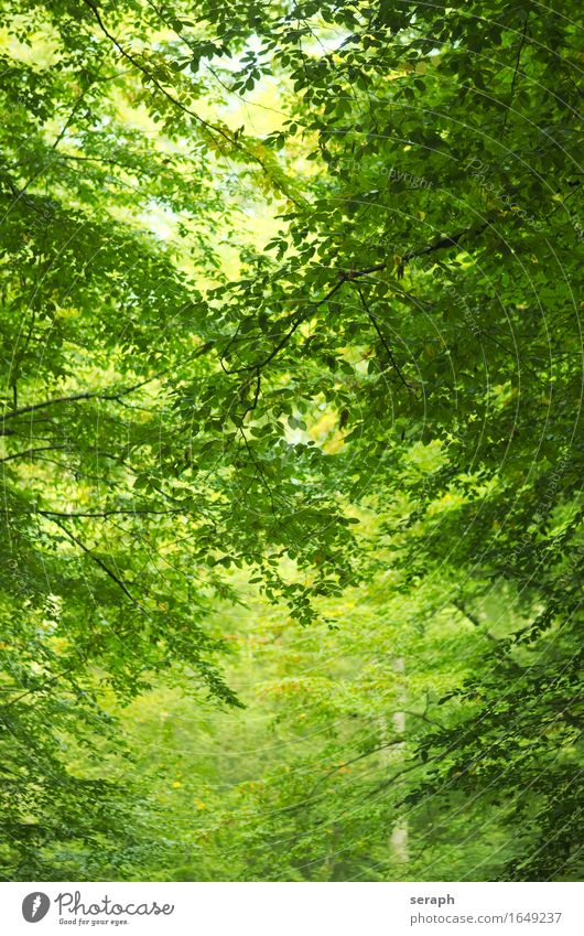 Beech forest Nature Plant Green Tree Leaf Forest Background picture Fresh Branch Tree trunk Twig Environmental protection Treetop Virgin forest Leaf bud Shoot