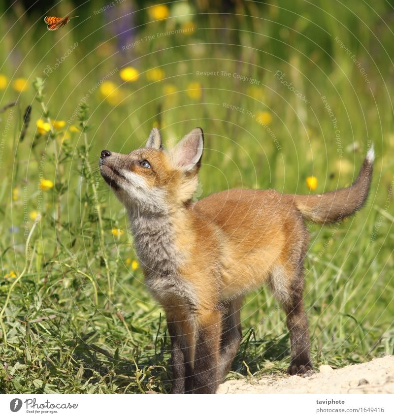 cute fox puppy looking after butterfly Child Nature Youth (Young adults) Summer Red Animal Forest Baby animal Environment Natural Playing Small School Wild Free