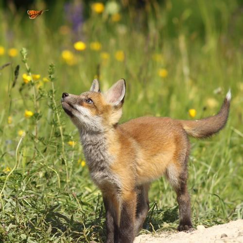 cute fox puppy looking after butterfly Playing Summer Child School Baby Youth (Young adults) Environment Nature Animal Forest Fur coat Butterfly Baby animal