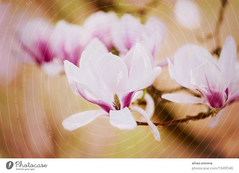 Nature Colour Tree Flower Blossom Spring Garden Open Blossoming Seasons Pure Fragrance Bud Smooth Magnolia plants Magnolia tree