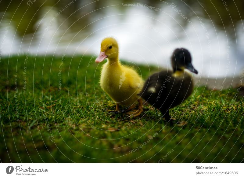 two little ducks Nature Grass River bank Animal Wild animal Duck 2 Group of animals Pair of animals Baby animal Discover Friendliness Happiness Happy Small