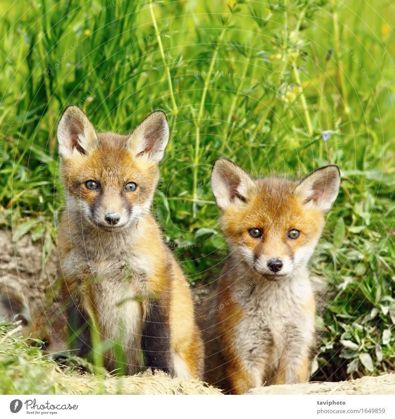 red fox brothers Beautiful Hunting Baby Family & Relations Infancy Nature Animal Forest Fur coat Baby animal Together Small Natural Cute Wild Brown Red Fox
