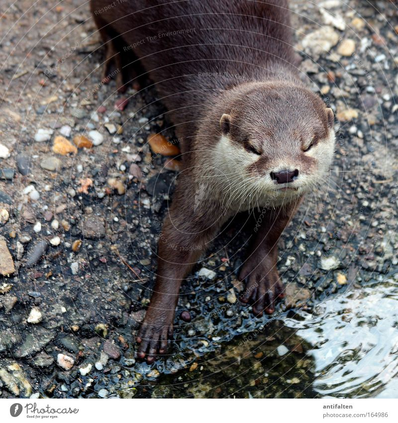 The Otter Animal Wild animal Animal face Pelt Paw Zoo 1 Stone Sand Water Looking Esthetic Cool (slang) Elegant Glittering Astute Natural Curiosity Brown Gray
