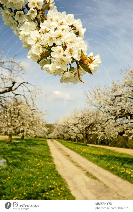 The cherry trees are in blossom.... Colour photo Exterior shot Deserted Day Sunlight Blur Shallow depth of field Wide angle Nature Landscape Plant Sky Spring