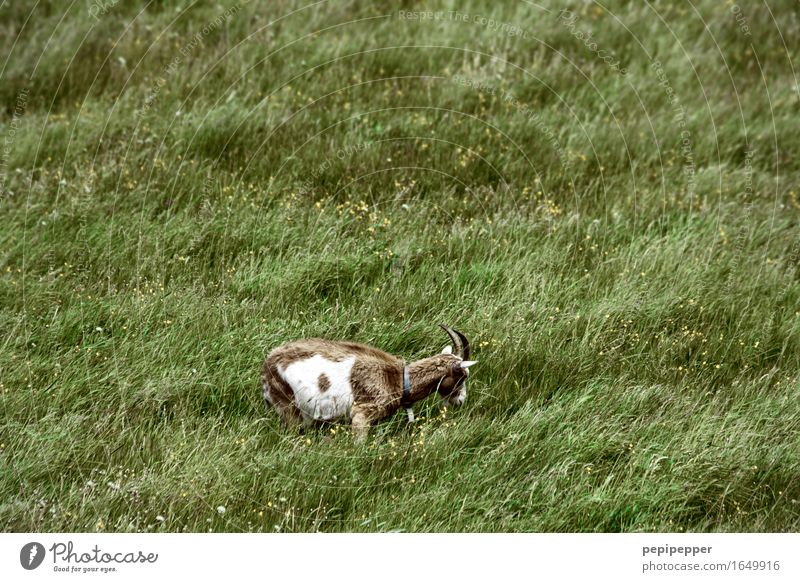 lawn mower Nature Summer Plant Grass Meadow Animal Farm animal Animal face Pelt Petting zoo Goats 1 To feed Green Colour photo Exterior shot Deserted Day