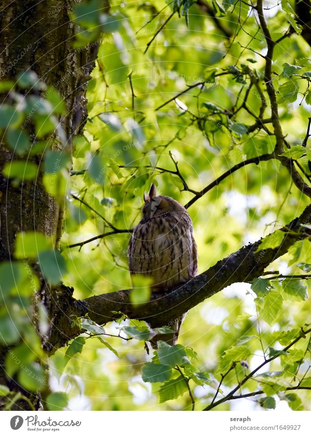 Long-eared owl Nature Tree Leaf Forest Bird Wild animal Sit Feather Wing Branch Sleep Symbols and metaphors Environmental protection Treetop Wisdom Hiding place
