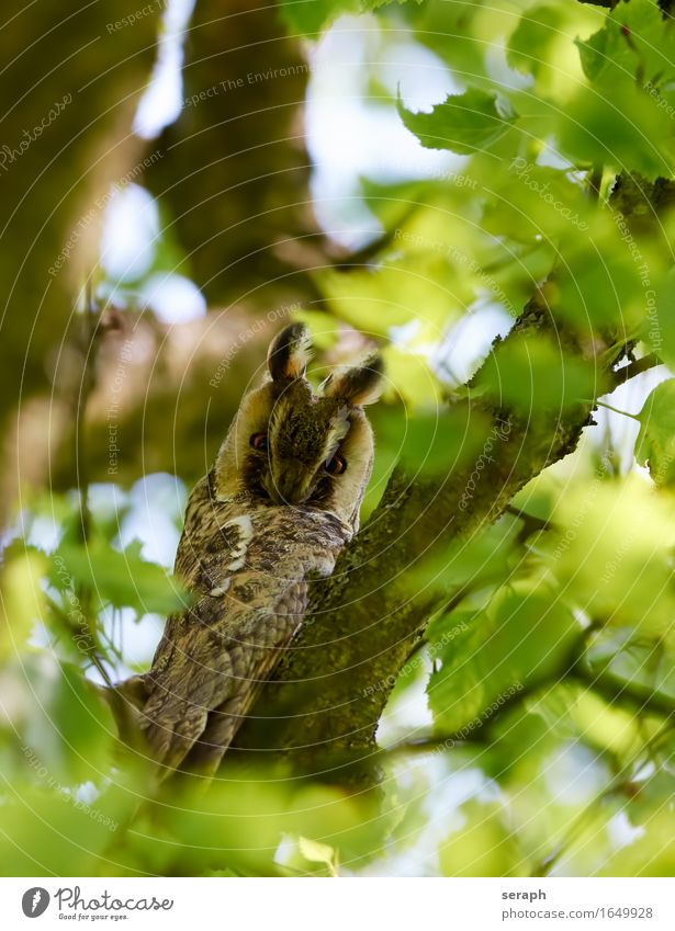 Long-eared owl (Asio otus) Owl birds Bird Feather Tree Forest Nature Wild animal Animal portrait Branch Twig Leaf Beech tree Environment Bird of prey