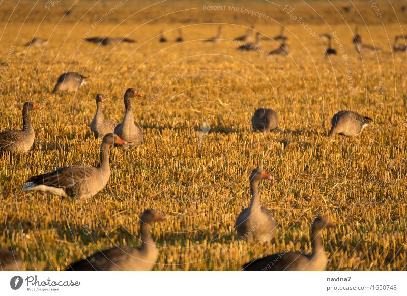meeting Animal Farm animal Wild animal Goose Group of animals Flock To feed Feeding Brown Calm Sustainability Team goose plague Field Colour photo Exterior shot