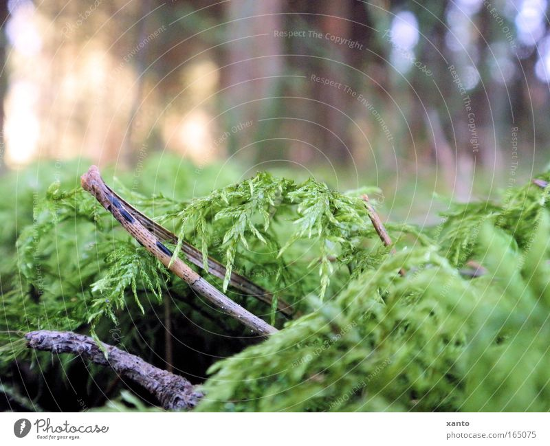 forest ground Colour photo Exterior shot Experimental Day Worm's-eye view Nature Plant Moss Forest Calm Woodground Fir needle Ground