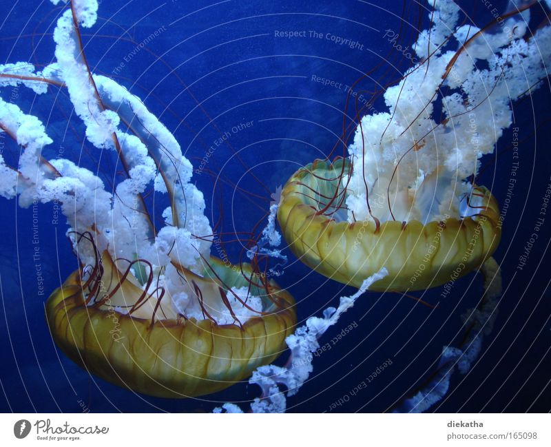 nettles Colour photo Underwater photo Animal portrait Water Ocean Jellyfish Aquarium 2 Observe Disgust Elegant Wet Slimy Beautiful Blue Calm Fear Dangerous