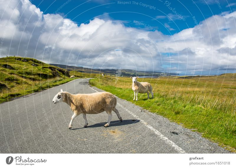 Sheep on the road in Scotland Road traffic Disturbance Transport Soft Freedom Leisure and hobbies Peaceful Going Great Britain Herd Isle of Skye Cuddly Lamb