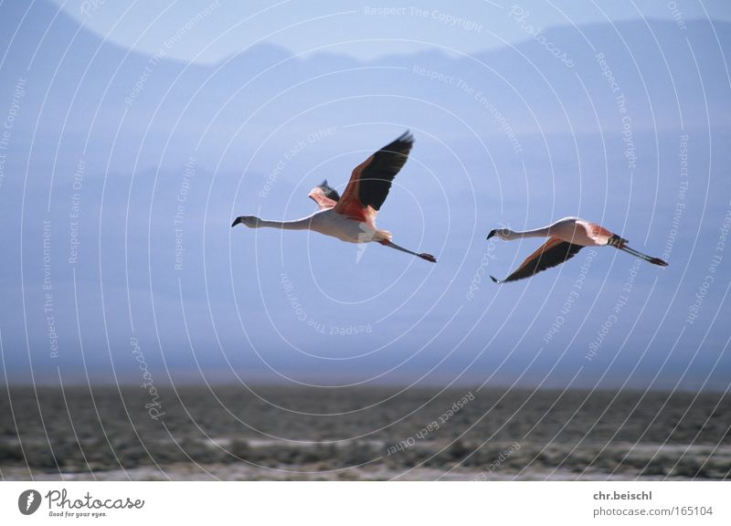 Flamingos in flight Colour photo Exterior shot Deserted Day Sunlight Motion blur Central perspective Animal Wild animal Bird Wing 2 Pair of animals Flying