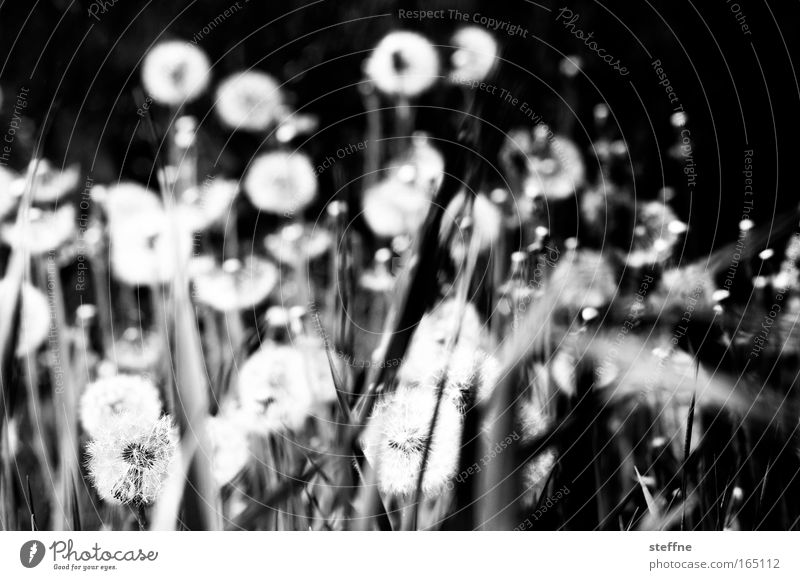 hay fever Black & white photo Exterior shot Deserted Day Shadow Contrast Worm's-eye view Landscape Plant Flower Grass Dandelion Park Meadow Relaxation