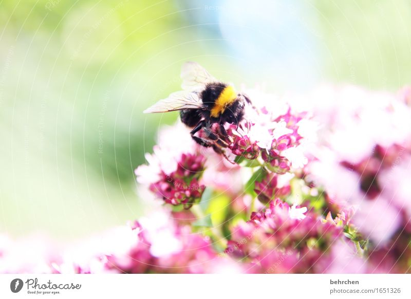 hummy Nature Plant Animal Summer Beautiful weather Leaf Blossom Herbs and spices Marjoram Thyme Oregano Garden Park Meadow Wild animal Wing Bumble bee 1