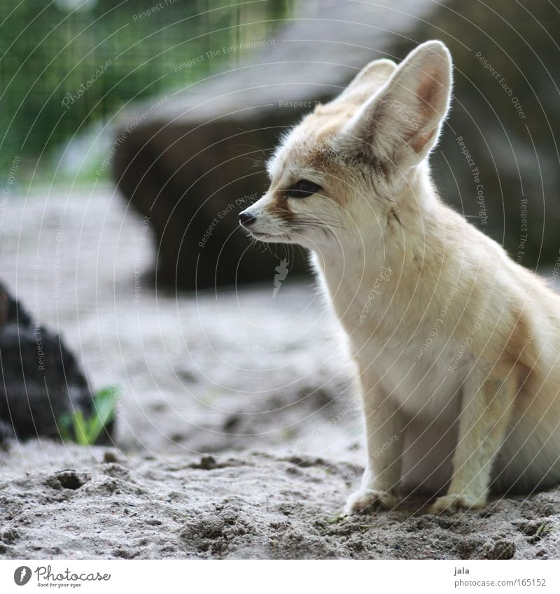 vixen Colour photo Exterior shot Deserted Day Animal portrait Looking away Wild animal Dog Animal face Pelt Zoo Fox fennec desert fox 1 Cuddly Small