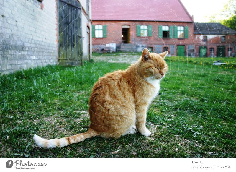 Red cat Colour photo Exterior shot Deserted Day Evening Animal portrait Profile Looking Pet Wild animal Cat 1 Contentment Relaxation Free-living Prowl