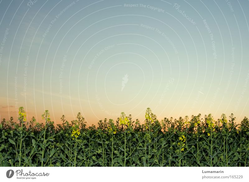 You can never hold back spring Environment Landscape Cloudless sky Sunrise Sunset Spring Plant Flower Agricultural crop Field Natural Positive Beautiful Blue
