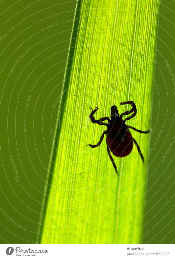 "Those ""eyes""!! Animal Tick 1 Observe Hang Crawl Threat Disgust Creepy Hideous Illness Green Appetite Fear Horror Fear of death Nature Lyme disease TBE"
