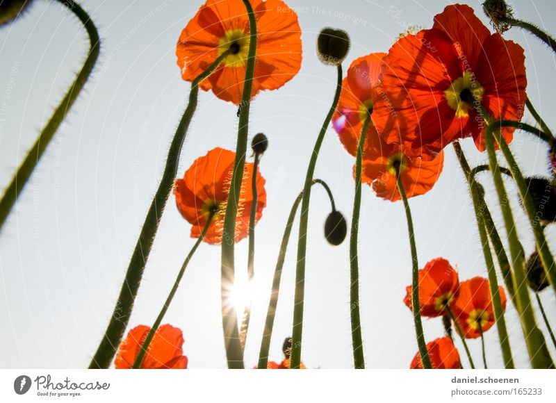 poppies Colour photo Multicoloured Exterior shot Macro (Extreme close-up) Deserted Day Light Shadow Sunlight Sunbeam Back-light Worm's-eye view Nature Plant