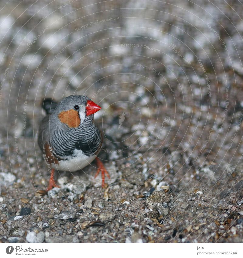 Beautiful Red Black Animal Gray Bird Small Ground Animal face Wing Zoo Australia Spotted Songbirds