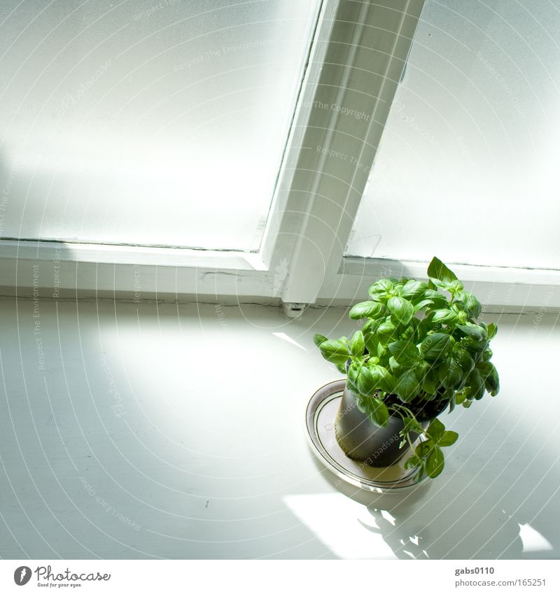 Basil illuminated Colour photo Interior shot Deserted Copy Space left Day Light Shadow Contrast Sunlight Shallow depth of field Wide angle Food Vegetable
