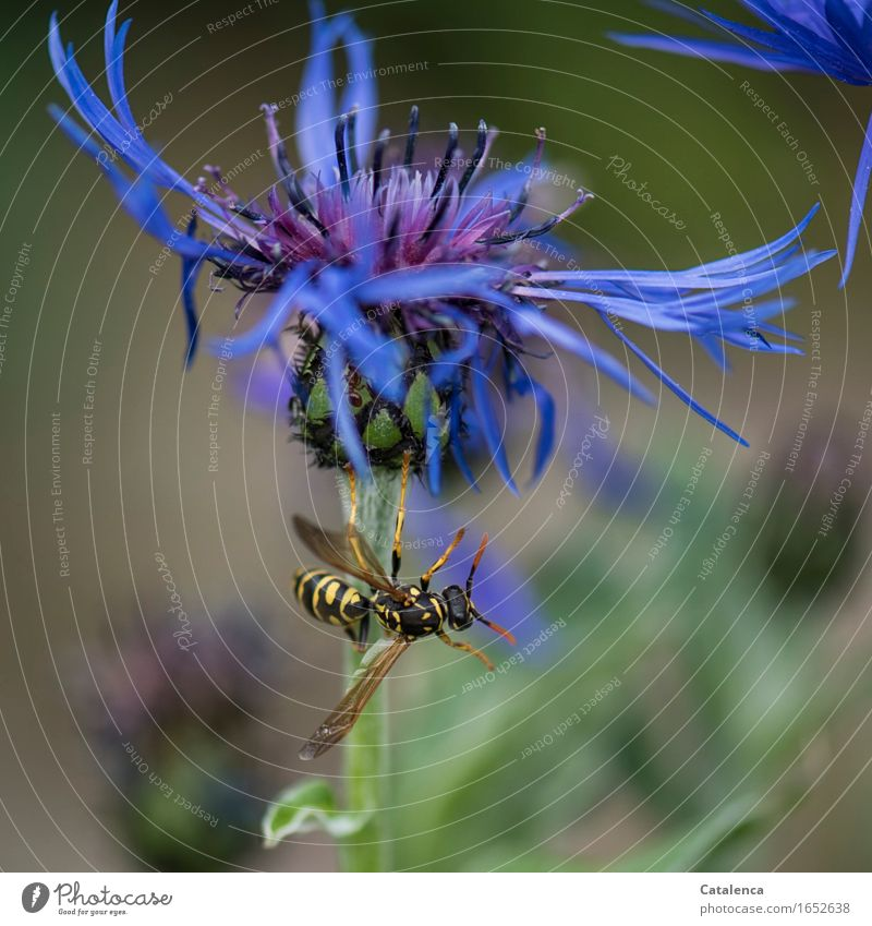 acrobatics Plant Animal Summer Flower Blossom Cornflower Garden Wild animal Insect Hornet 1 Fragrance Flying Blue Yellow Green Black Determination
