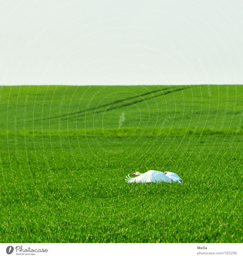 Swan Lake II: Departure Environment Nature Landscape Plant Animal Cloudless sky Spring Agricultural crop Field Wild animal Wing 1 Movement Flying Esthetic