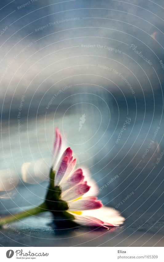 . Colour photo Sky Spring Flower Blossom Exceptional Kitsch Pink Detail Macro (Extreme close-up) Decoration Beautiful Daisy Blur Copy Space top Damp Water Fresh