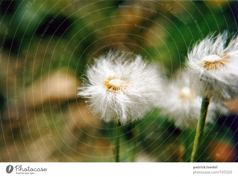 dandelion in the wind Colour photo Exterior shot Close-up Deserted Copy Space top Day Motion blur Shallow depth of field Worm's-eye view Environment Nature