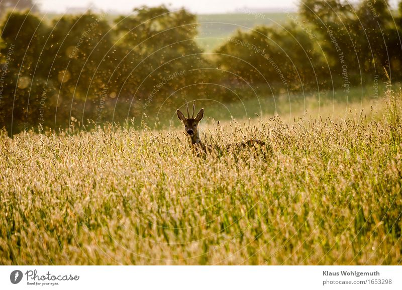 chance acquaintance Adventure Environment Nature Landscape Plant Animal Spring Summer Beautiful weather Warmth Grass Meadow Forest Wild animal Pelt Roe deer