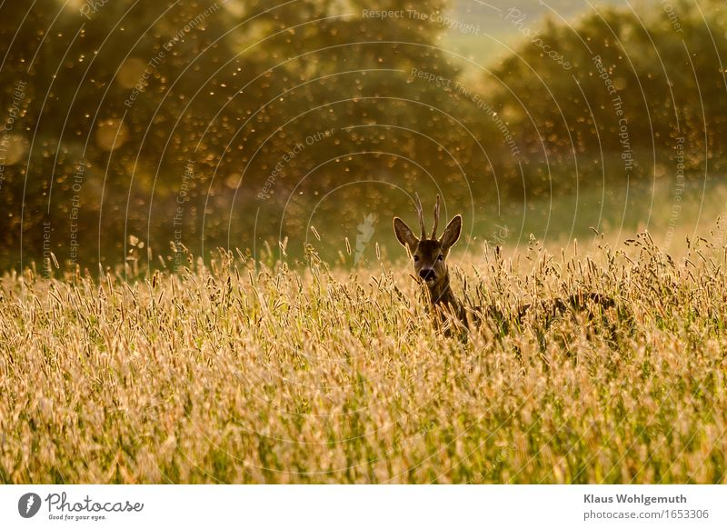 End of May Relaxation Calm Environment Nature Animal Spring Summer Grass Meadow Forest Wild animal Pelt Roe deer Buck Antlers 1 Observe Looking Stand Beautiful