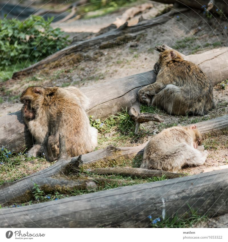 round the bend Summer Beautiful weather Tree Animal Animal face Pelt 3 Sleep Brown Gray Green Tree trunk Thorough Barbary ape Colour photo Exterior shot Pattern