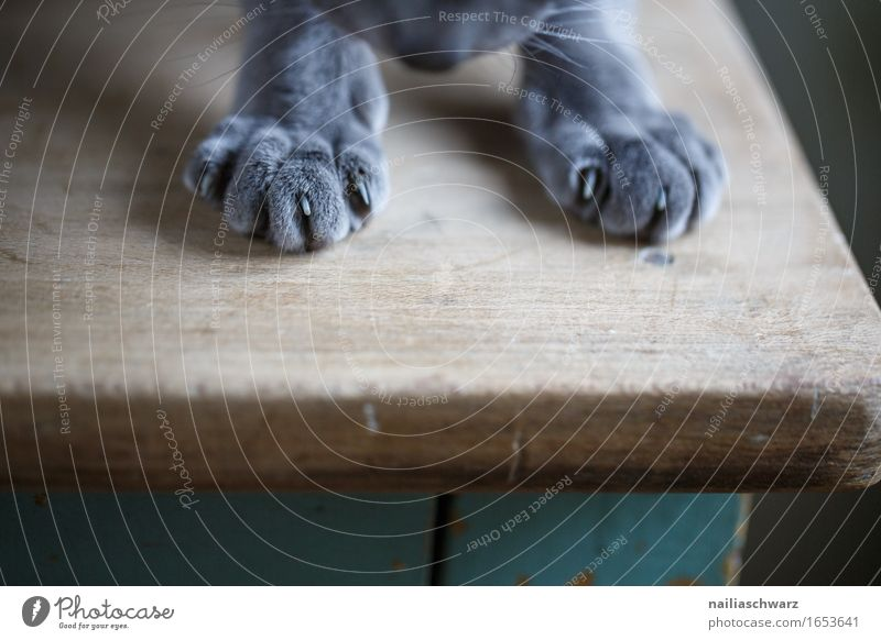 paws Animal Pet Cat Pelt Claw Paw 1 Wood Table Observe Discover Lie Elegant Friendliness Happiness Cute Beautiful Soft Blue Gray Green Joy Contentment