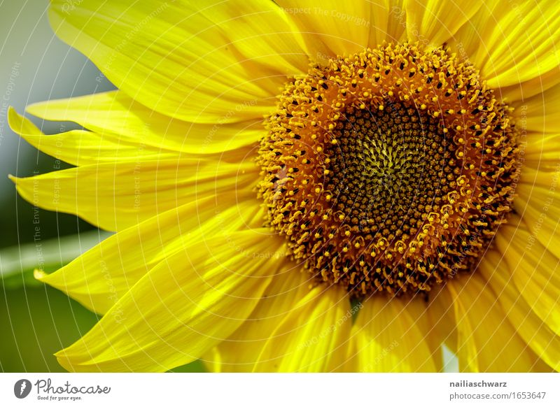 sunflower Summer Agriculture Forestry Environment Nature Plant Beautiful weather Flower Agricultural crop Sunflower Meadow Field Blossoming Fragrance Growth