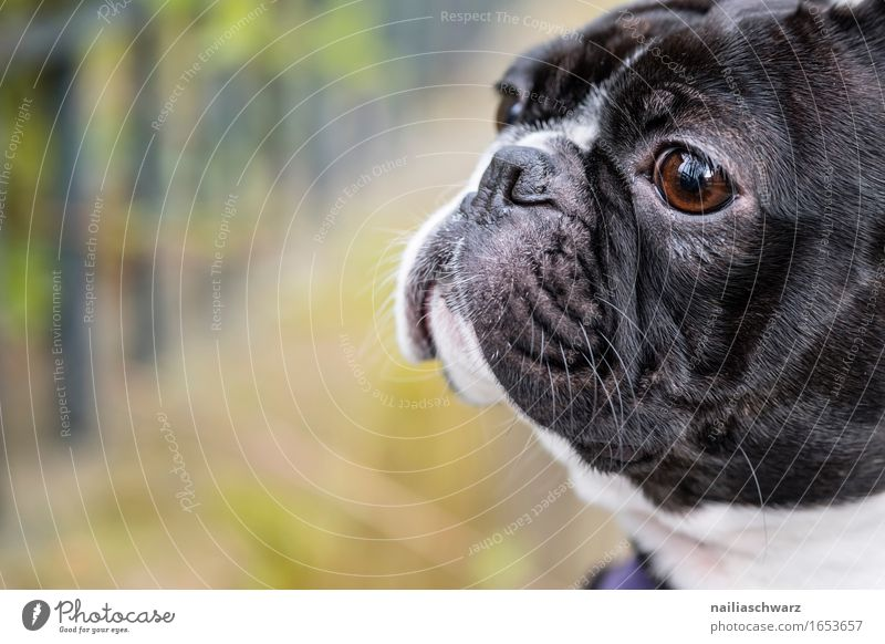Boston Terrier Park Animal Pet Dog 1 Esthetic Cute Black White boston terrier Colour photo Subdued colour Exterior shot Deserted Shallow depth of field