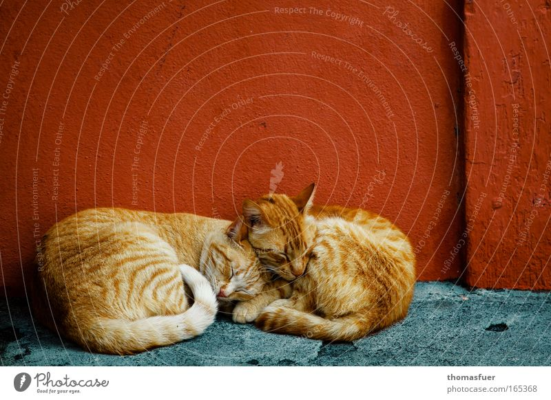 Cat Blue Red Animal Relaxation Small Friendship Baby animal Together Contentment Pair of animals Natural Sleep In pairs Cute Pelt