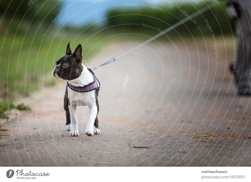 Walk with Boston Terrier Animal Pet Dog 1 Going Jump boston terrier Walk the dog To go for a walk Colour photo Subdued colour Exterior shot Day