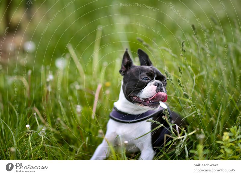 Boston Terrier in the grass Animal Pet Dog 1 Jump walk walking boston terrier outside road fresh green happy pant panting Colour photo Subdued colour