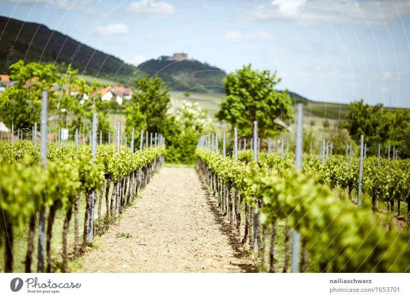 Vineyards near Maikammer Summer Green Germany Rhineland-Palatinate Wine growing Landscape maikammer hambach southern wine road Colour photo Exterior shot