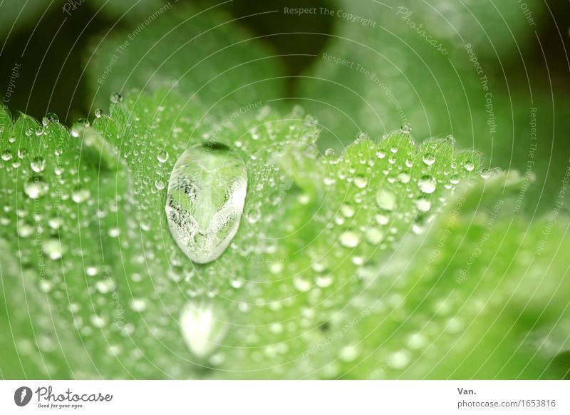morning dew Nature Water Drops of water Spring Plant Leaf Foliage plant Alchemilla vulgaris Dew Fresh Small Wet Green Colour photo Multicoloured Exterior shot