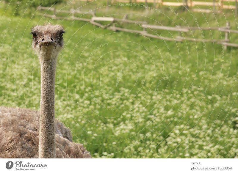 Animal Bird Wild animal Animal face Farm animal Ostrich Uckermark