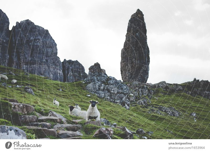 Isle of Skye Rock Sheep Scotland Western islands skye Old Man of Storr Flock Landscape Green Tourism Tourist Attraction Trip Hiking