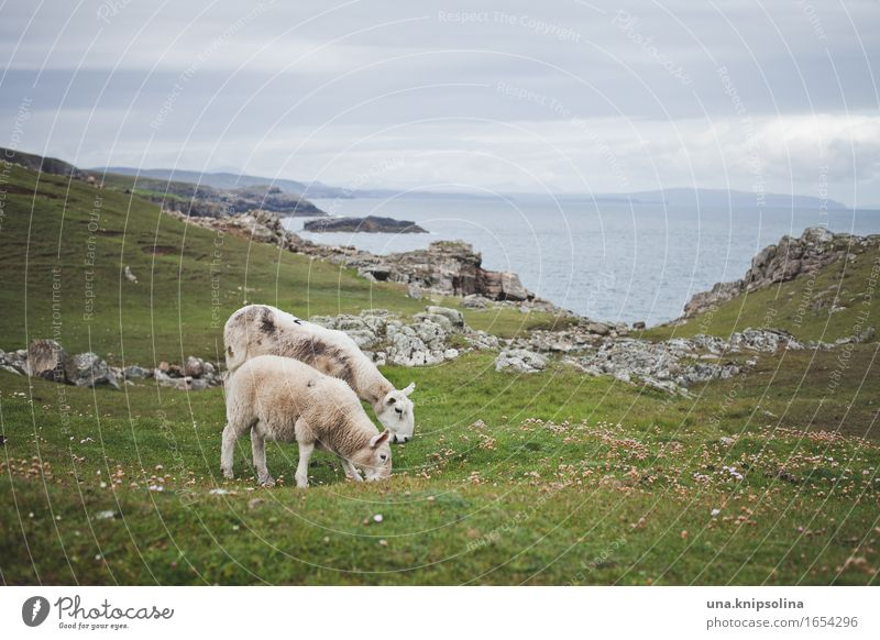 Sheep on the coast of Scotland Coast Lamb Nature Landscape Ocean Mow the lawn Lawn Great Britain