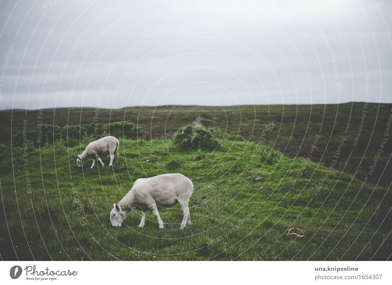 sheep somewhere in scotland Nature Landscape Clouds Bad weather Meadow Field Scotland Animal Farm animal Sheep 2 To feed Colour photo Subdued colour