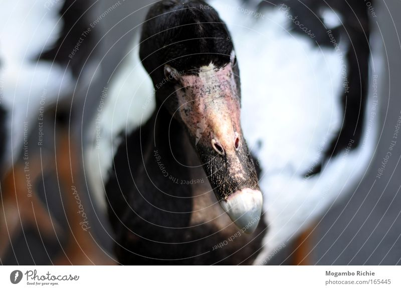 goose Colour photo Subdued colour Exterior shot Close-up Animal portrait Front view Looking away Nature Wild animal Bird Animal face Zoo 1 Think Sadness Near