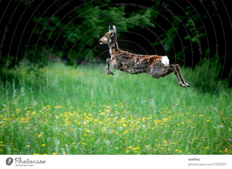 Jump into spring Colour photo Exterior shot Deserted Day Central perspective Nature Animal Field Wild animal Pelt Roe deer 1 Joy Happiness Timidity Contentment