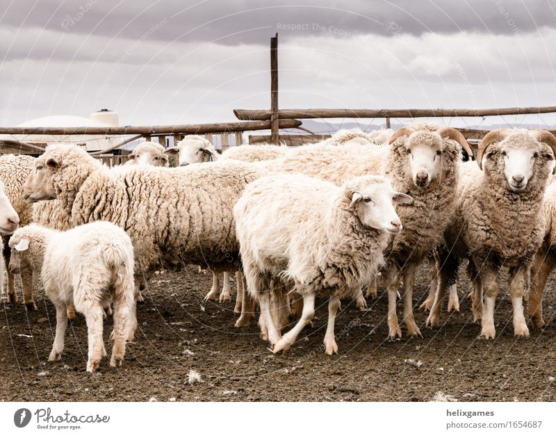 sheep in a desert pen Agriculture Forestry Animal Desert Farm animal Animal face Sheep Group of animals Feeding Stand Utah Lamb Ranch ranching Rural