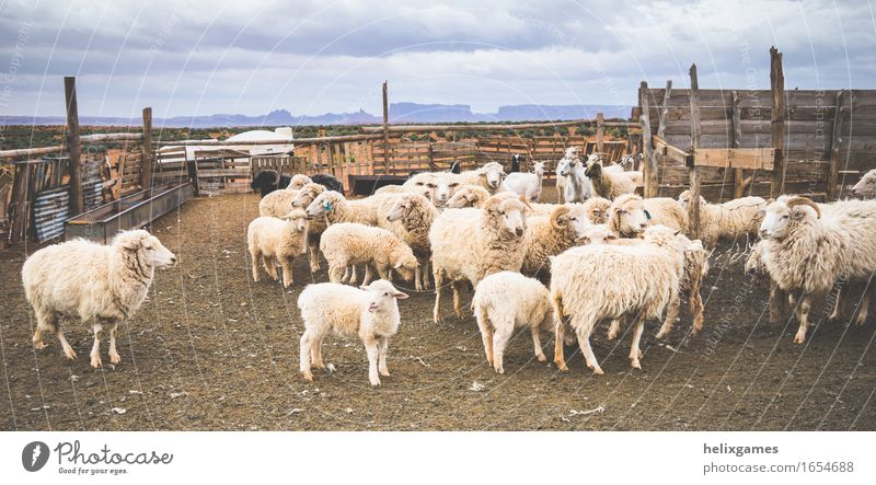 lamps and sheep Animal Desert Farm animal Sheep Lamb Group of animals Herd Stand Beautiful Utah Agriculture monument valley Ranch ranching Rural Colour photo