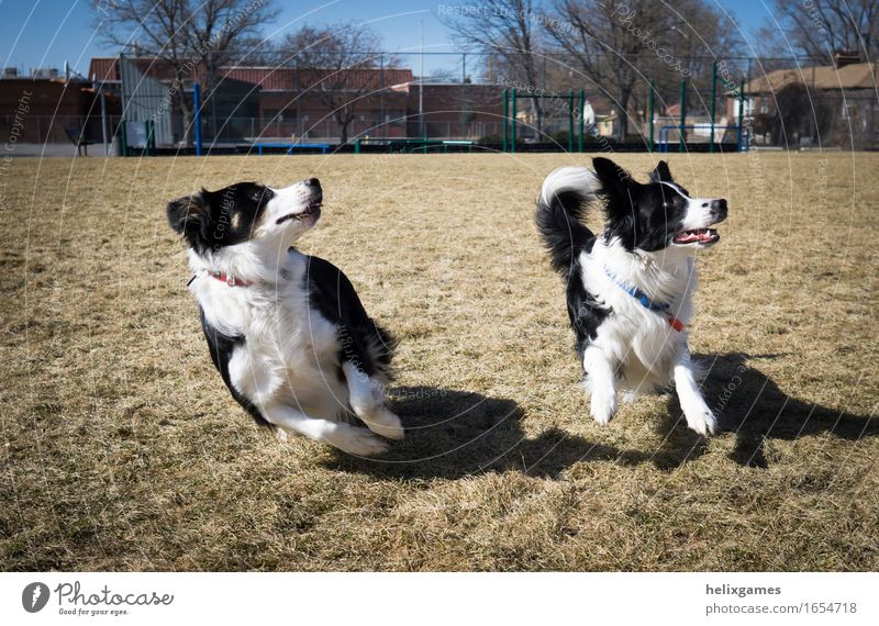 border collies play fetch Animal Pet Dog 2 Pair of animals Running Looking Playing Happiness Together Anticipation Enthusiasm Attentive Watchfulness