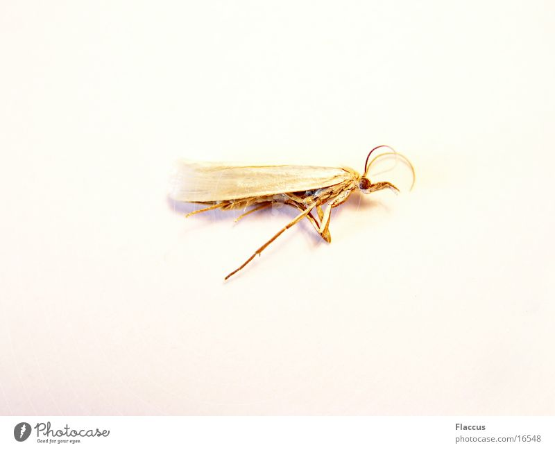 Golden Angel Insect Butterfly Moth Transport Death